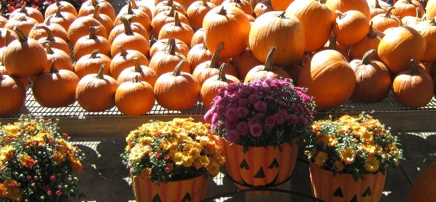 Mums and Pumpkins Decorate your Fall